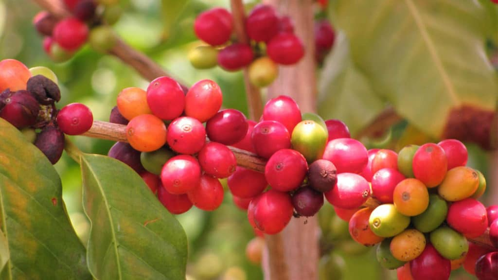 What is Kona Coffee Beans?